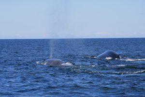 baleine bleue Serge Ouellet PC