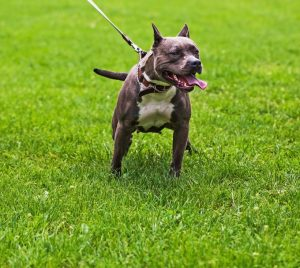 Staffordshire bull terrier pulling on a lead